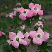 コルヌス ステラーピンクの花