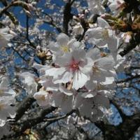 【ナショナルプランツ コレクション】玉縄桜