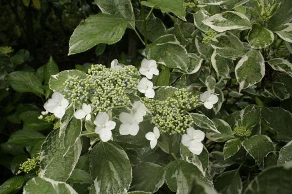 コイジガハマ_恋路ヶ浜_Hydrangea macrophylla 'Koijigahama'