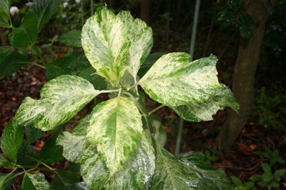 ハツシモ_初霜_Hydrangea macrophylla 'Hatsushimo'