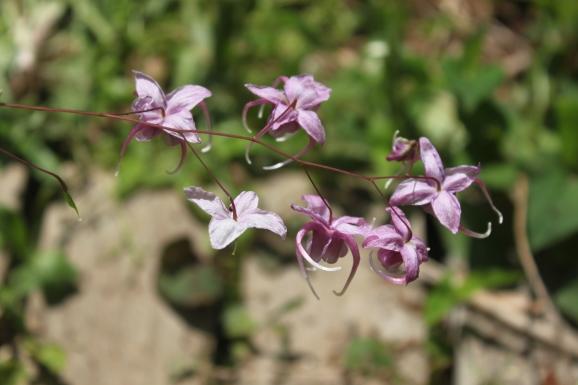ラティセパラム × 甲斐紫