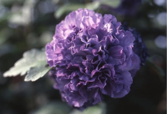 ムクゲ '紫玉'