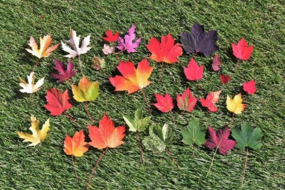 カエデの葉いろいろ