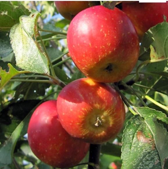 リンゴ 'アルプス乙女 '