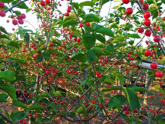 サクランボ(カラミザクラ、暖地桜桃)