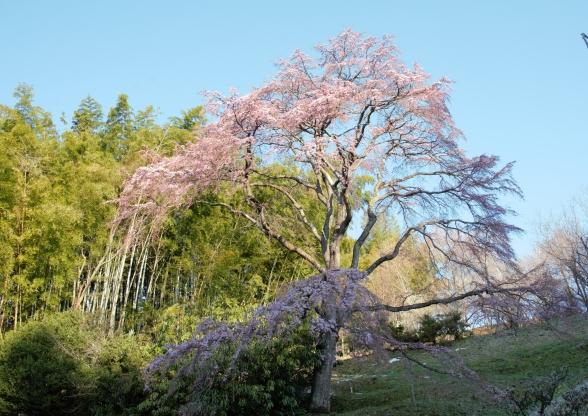 滝桜の子(接ぎ木繁殖の母樹)