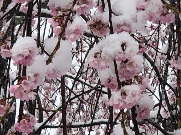 滝桜の孫の花