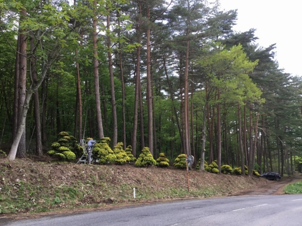 クロマツ Pinus thunbergii