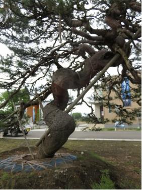 アカマツ Pinus densiflora