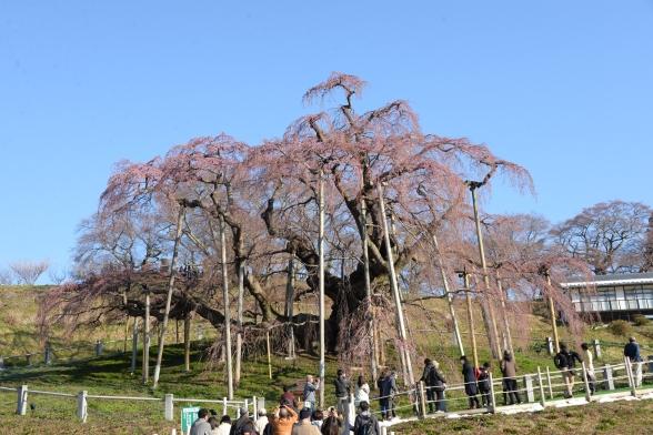 滝桜(親)